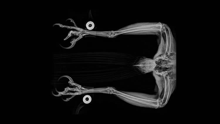 Golden Eagle Animal X Ray