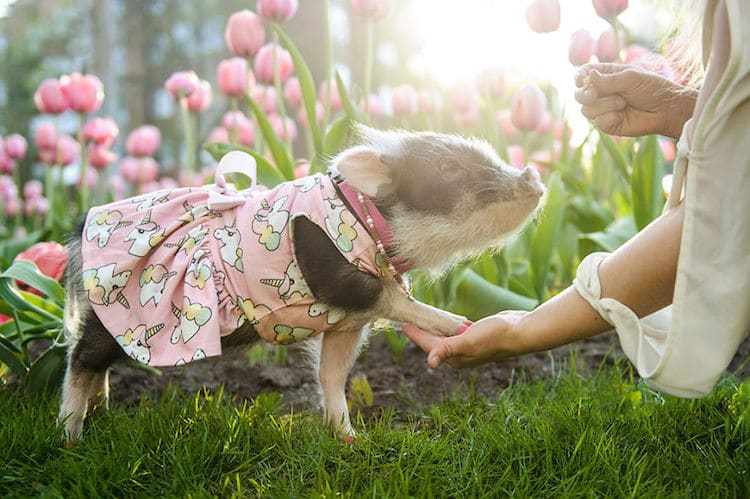 Fluffy The Therapy Pig Photos par Chantal Levesque