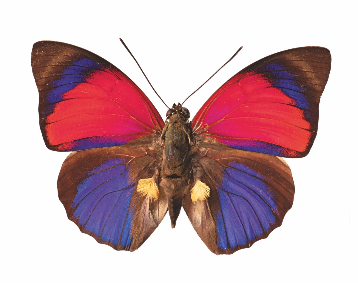 Papillon Claudina