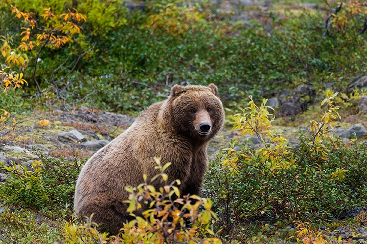 Grizzly Bear assis dans un champ